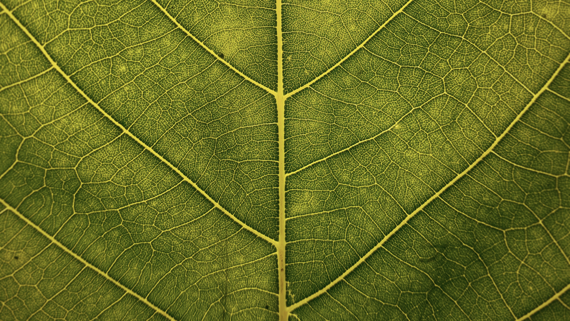 The veins of a leaf show how redundancy leads to a robust distribution network.